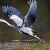 Grey Heron take off!