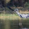 Grey Heron landing.