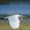 White heron in flight.