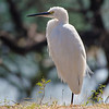 White Egret.