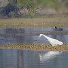 Snowy Egret. FIshing,