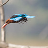 Kingfisher - Dive.
