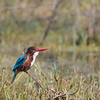White throated Kingfisher.