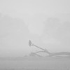 The Marsh harrier. Fog. Mood shot.