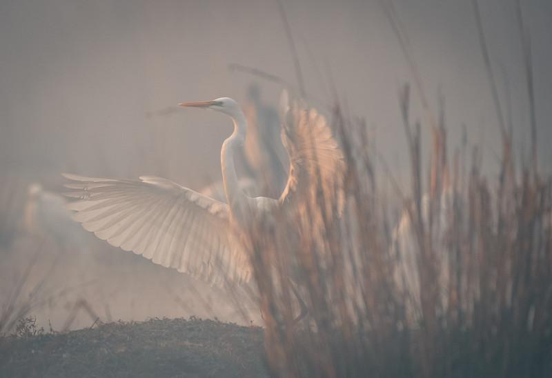 Snowy Egret. Fog.