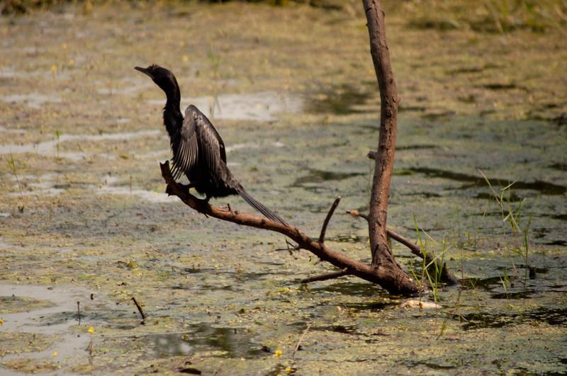 The posing cormorant.
