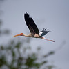 Painted stork. Amazing graceful birds.A pleasure to see them fly.