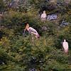 Nesting painted storks.