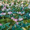 Lotus Bokeh.