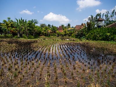 Ubud rice field with ducks