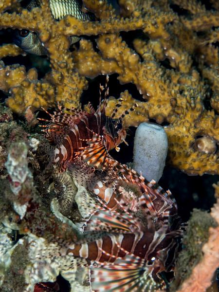Feuerfische (3), Teluk Karang Hausriff