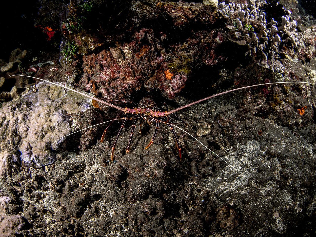 Languste (fisheye), Teluk Karang Hausriff Nachttauchgang