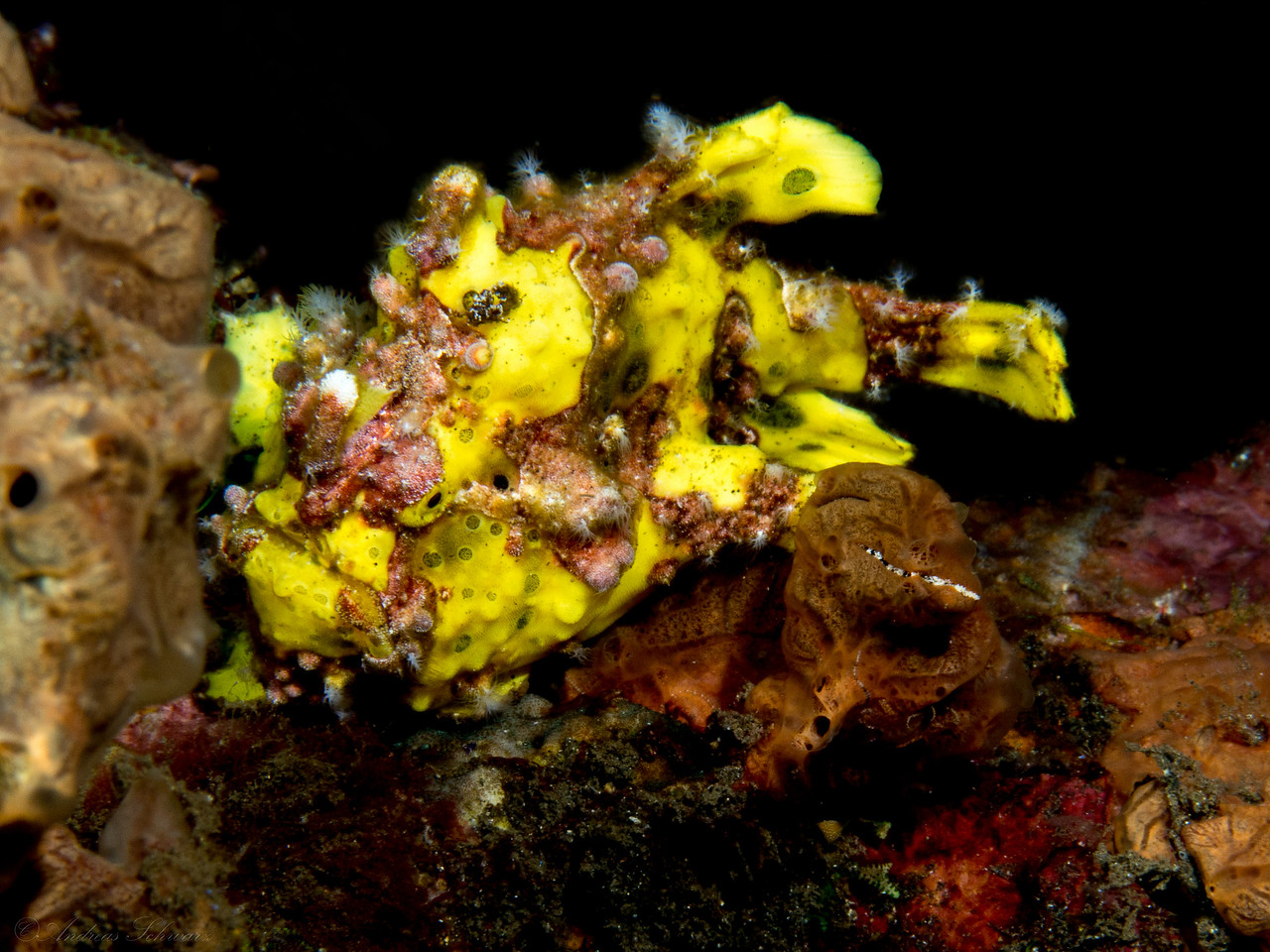 Clown Frogfish (5cm), Teluk Karang Housereef