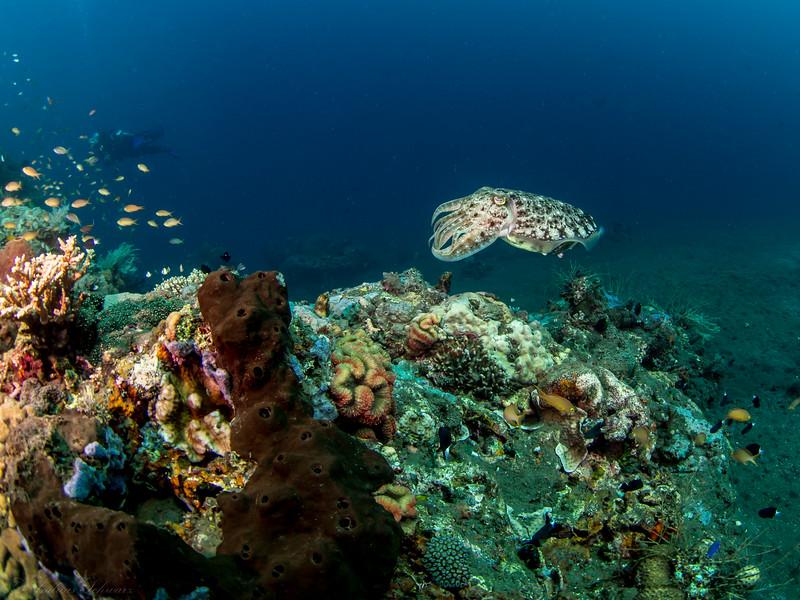 Sepia, Teluk Karang Bondalem