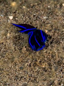 Plattwurm Teluk Karang Hausriff