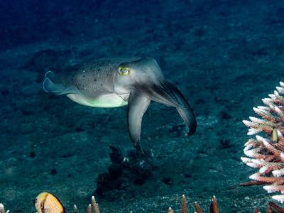 Sepia jagend, Teluk Karang Hausriff