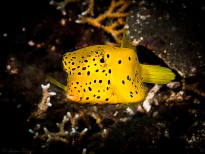 Kofferfisch, Teluk Karang Alam Anda
