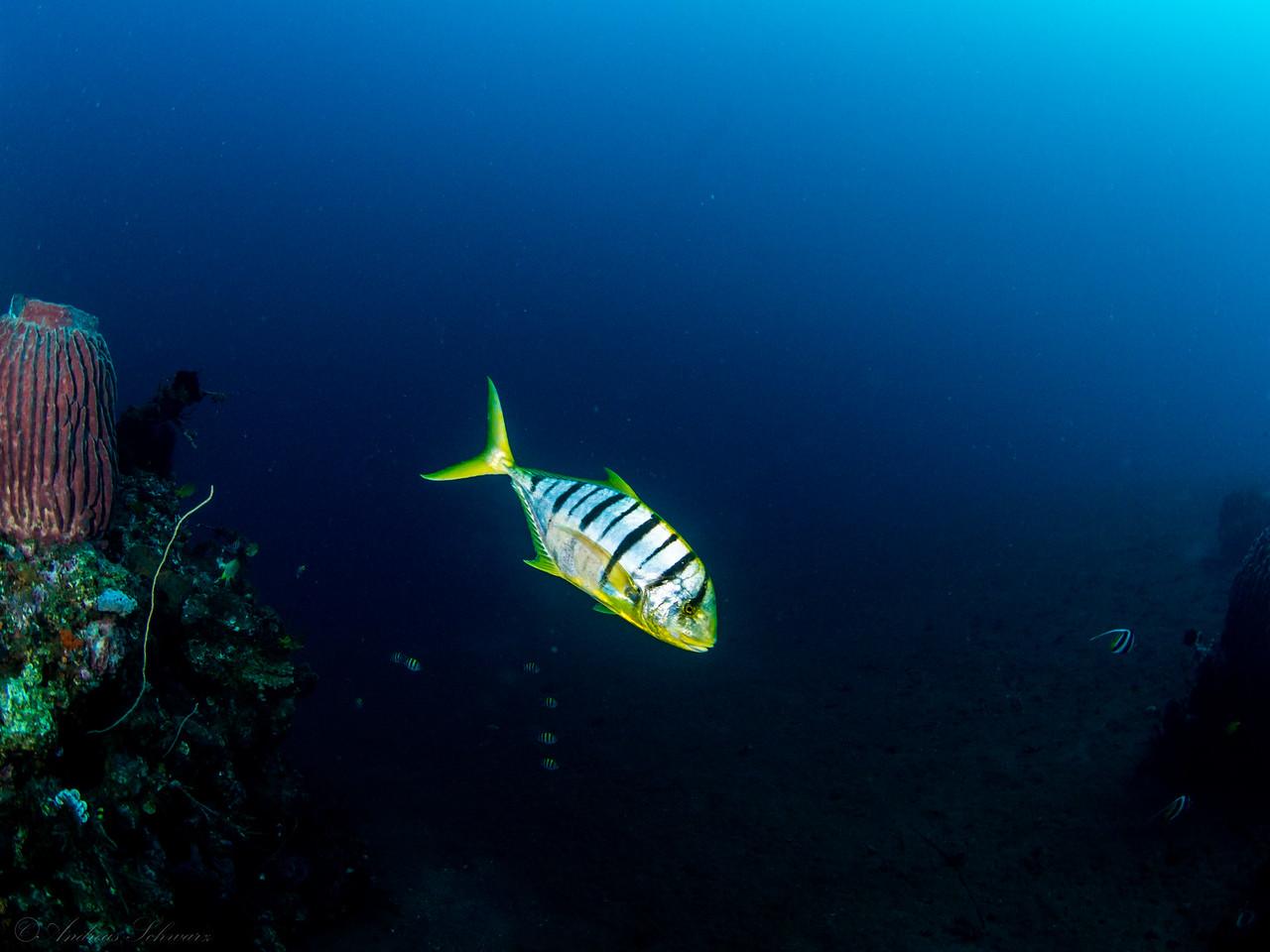 Goldmakrele, Teluk Karang Bondalem