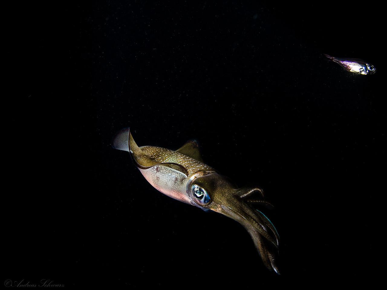 Sepia (fisheye), Teluk Karang Hausriff Nachttauchgang