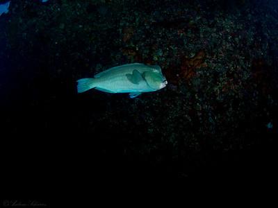 Bucklehead Parrotfish, Tulamben Liberty wreck