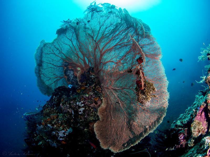 Seefächer (2m), Teluk Karang Bondalem