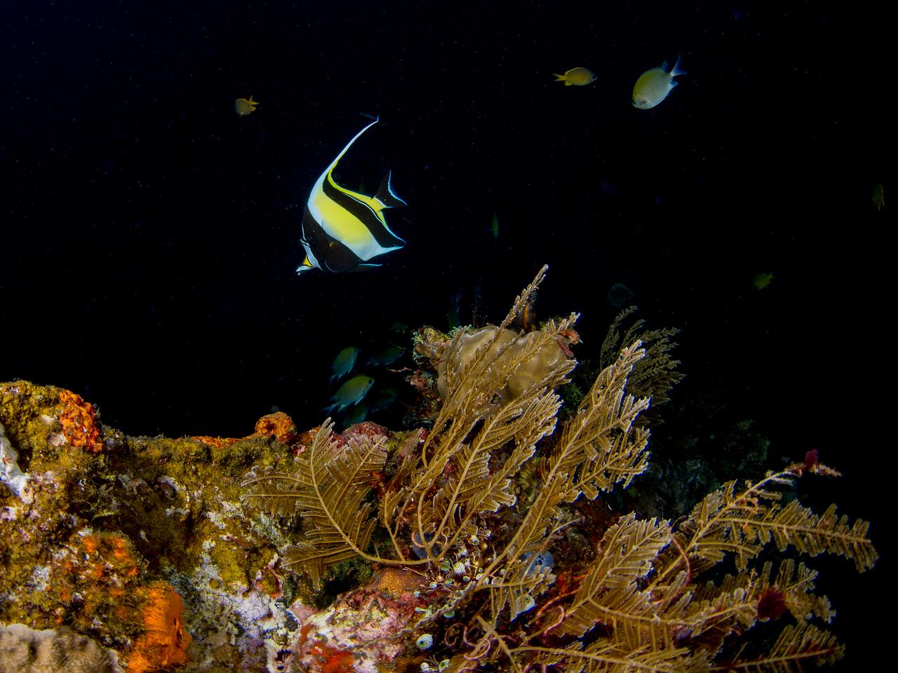 Anglefish, Tulamben Liberty