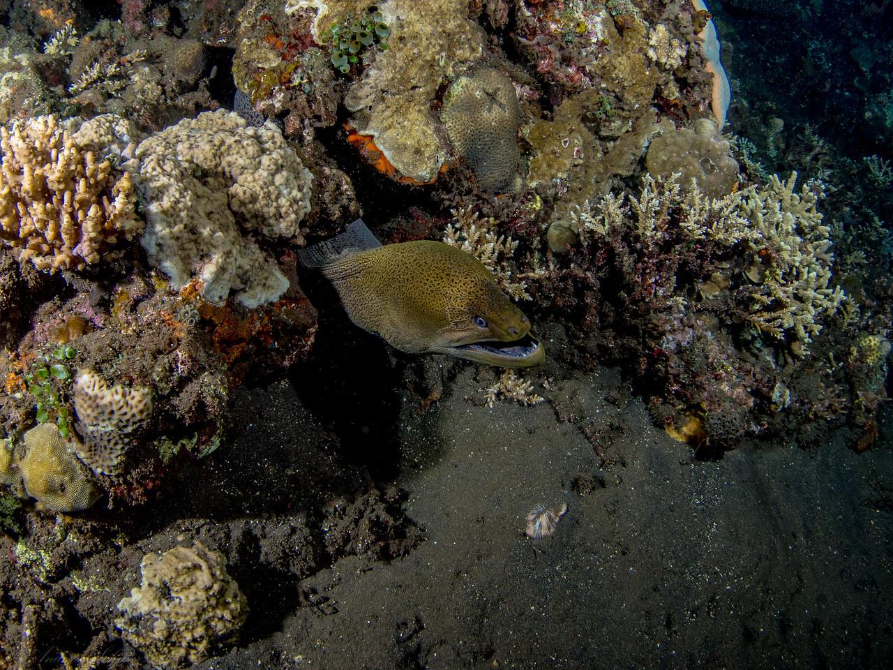 Muräne (fisheye), Teluk Karang Hausriff Nachttauchgang