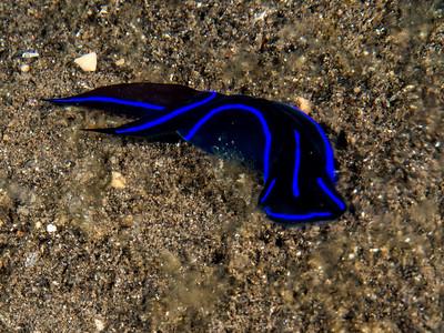 Plattwurm, Teluk Karang Hausriff
