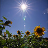 Sunflowers with Lens Flare