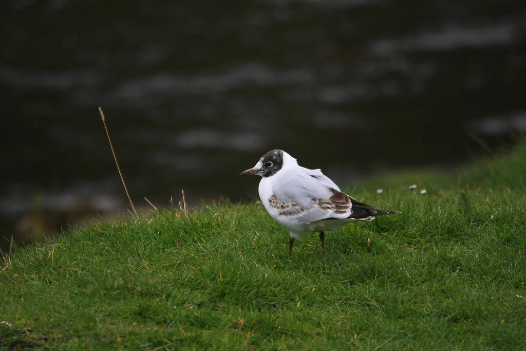 and this is a juvenile little gull