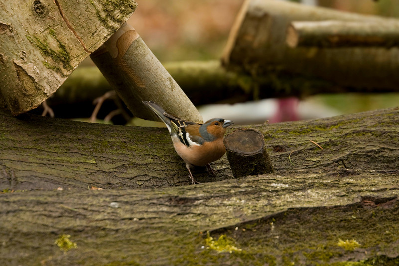 a chaffinch i think - sat on a log next to a wood carver