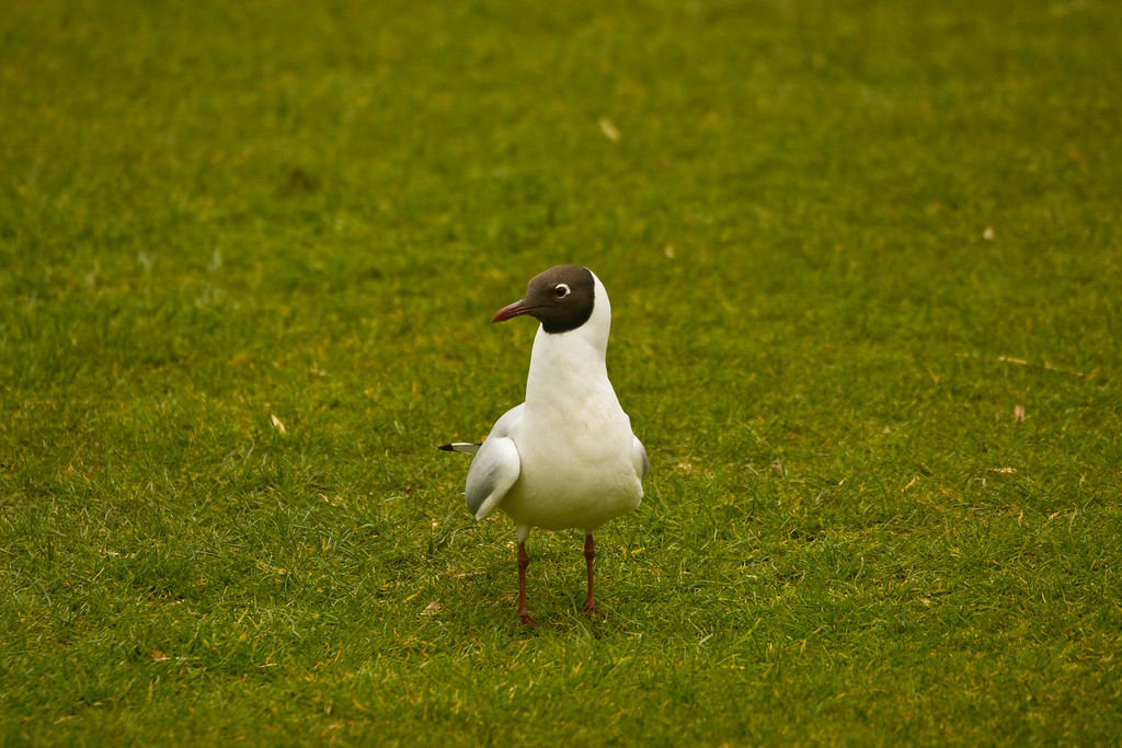 "this is a ""little gull"" (i think)"