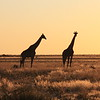 First evening game drive - finished spectacularly with a full on giraffe sunset experience.