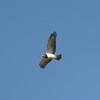 Black backed snake eagle (I think).