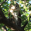 Fantastic camp resident - a beautiful pair of Barn Owls. Think this is the male.