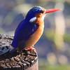 An azurite Kingfisher... utterly stunning