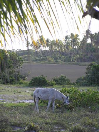 Guarajube
