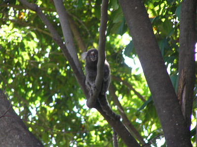 Spider monkeys (or micos) in Praia do Forte