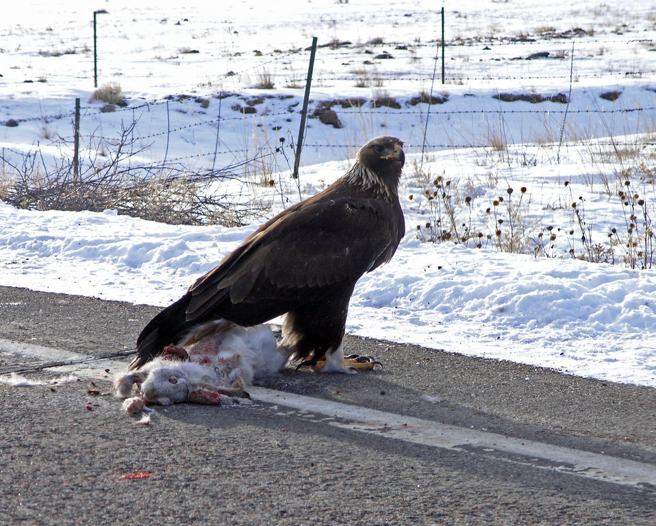 Dec 20.  Driving north on highway 9, we saw this eagle eating the road-kill rabbit.