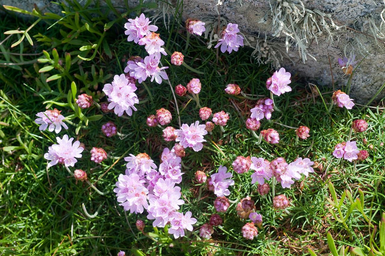 Fleurs, ile d'ouessant, France