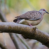 Spotted dove.