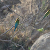 Blue tailed bee-eaters.