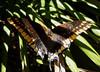 Megagrote vlinder bij het zwembad