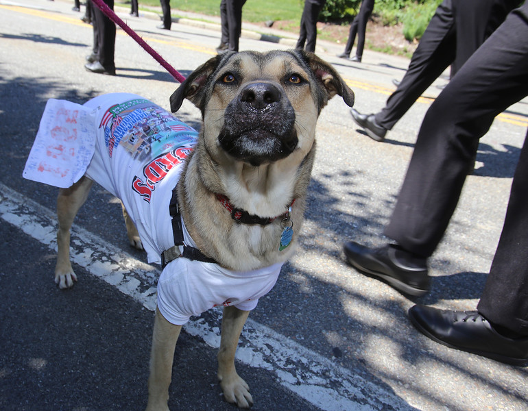 50th anniversary of Chelmsford's 4th of July celebration and parade. Bella, in a Chelmsfore tee shirt. (SUN/Julia Malakie)