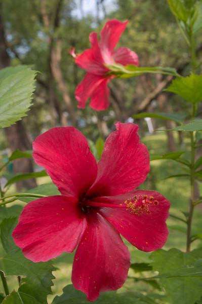 20090901_3126 hibiscus at Guangzhou Botanical Gardens