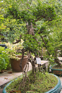 20090901_3165 bonsai, auditioning for  a starring role in 'Day of the Triffids'. Part of the bonsai collection next to the orchid garden. Guangzhou Botanical Gardens.