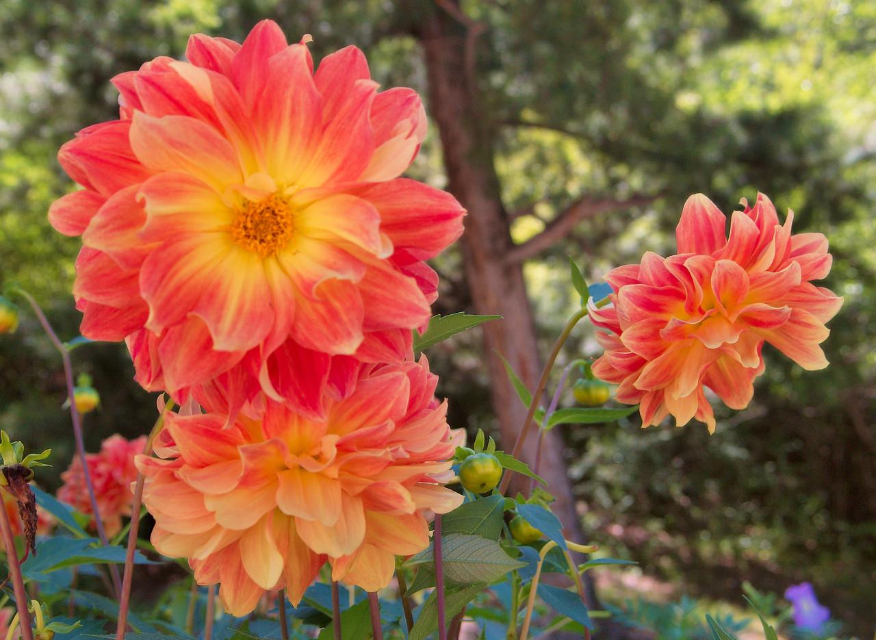 20090827_1059_3058 dahlias, at the Jiuzhaigou park entrance