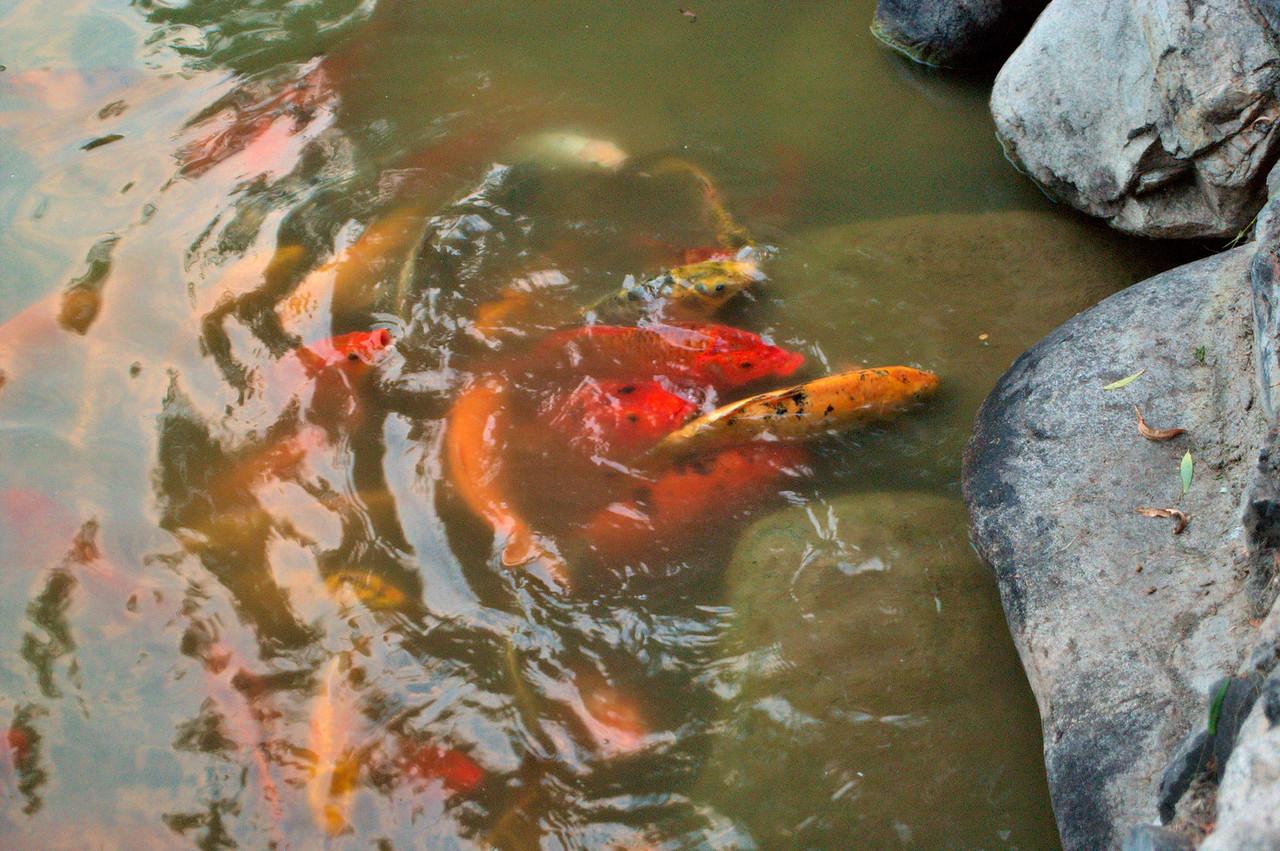 20090815_2026_2786 goldfish at the Tang Dynasty Park