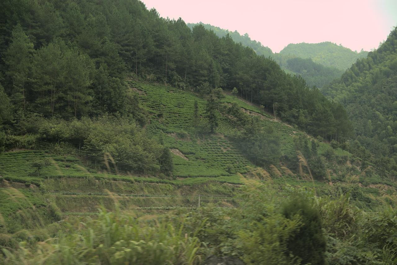 20070821_0262 Lots of tea fields around HuangShan.