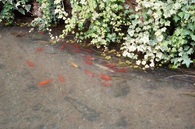 20080927_1824 DongDaJie canal fish. Some rainbow trout were swimming in these canals! Sadly, we never saw rainbow trout on a restaurant menu.